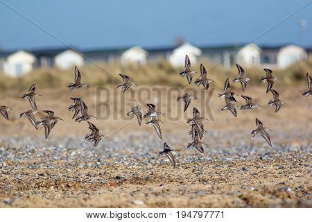 Flock of sandpiper birds (Actitis hypoleucos) flying over seaside beach. Coastal wildlife nature image.
