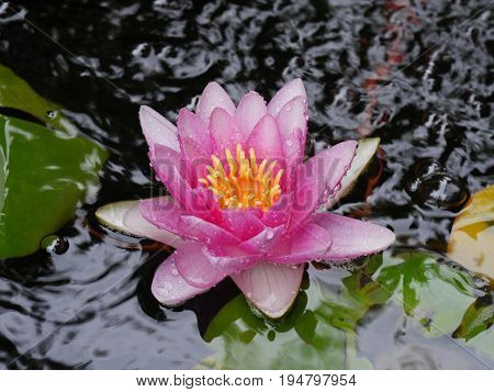 Pink water lily in a pond A drenched pink water lily with yellow center blooming in a pond