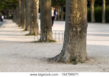 Row of tree trunks along the street. Greenery tree trunk row.