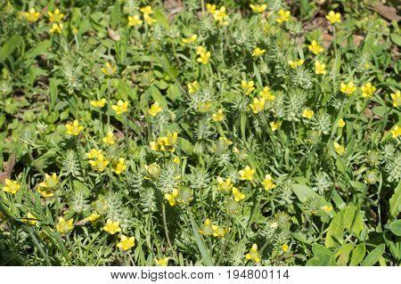 Plenty Of Yellow Flowers Of Ceratocephala Testiculata
