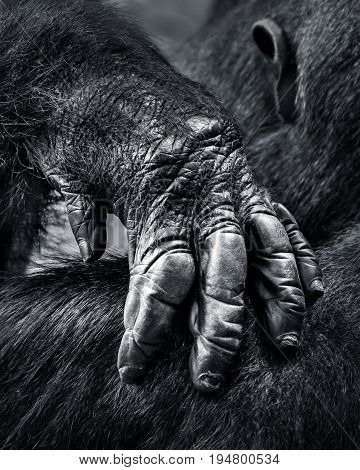 Closeup of a Hand from a Western Lowland Gorilla