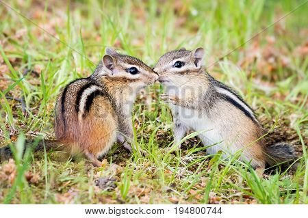 A Chipmunk Pair Kissing  in a Patch of Grass