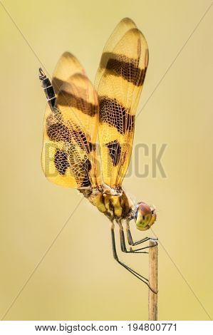 Profile Portrait of a Halloween Pennant  Dragonfly Against a Yellow Background