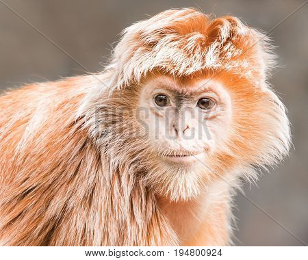 Frontal Portrait of a Smirking Juvenile Ebony Langur