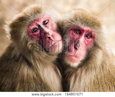 Frontal Portrait of a Japanese Macaque Pair Hugging Each Other
