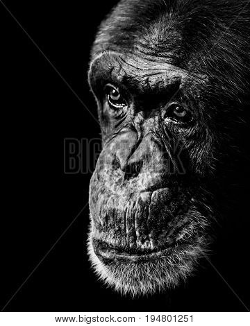 A Black and White Three Quarter Portrait of a Chimpanzee Against a Black Background