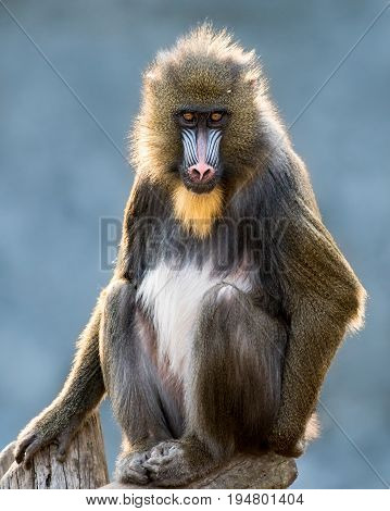 Frontal Portrait of a Mandrill Against a Mottled Blue Background