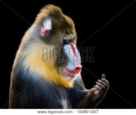 Profile Portrait of Mandrill Looking at Hand