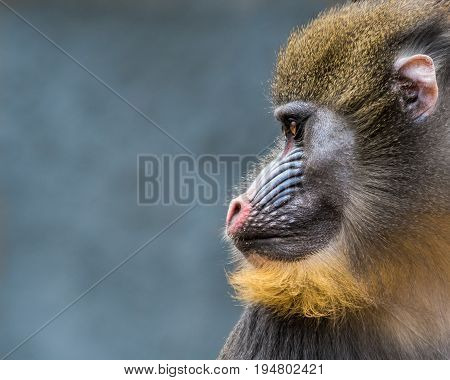 Profile Portrait of a  Male Mandrill Against a Blue Gray Background