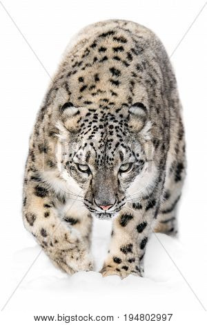 Snow Leopard Stealthily Walking Through the Snow