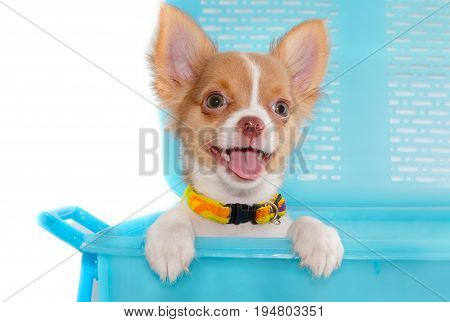 Cute Chihuahua Puppy Smile In The Basket