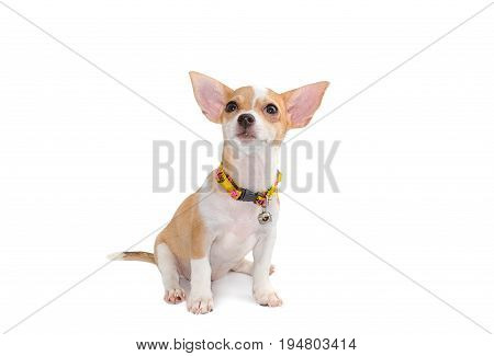 Cute Chihuahua Puppy Sitting Isolate On White