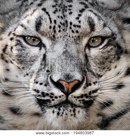 Closeup Frontal Portrait of a Beautiful Snow Leopard