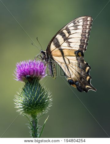Eastern Tiger Swallowtail Perched on a Purple Thistle
