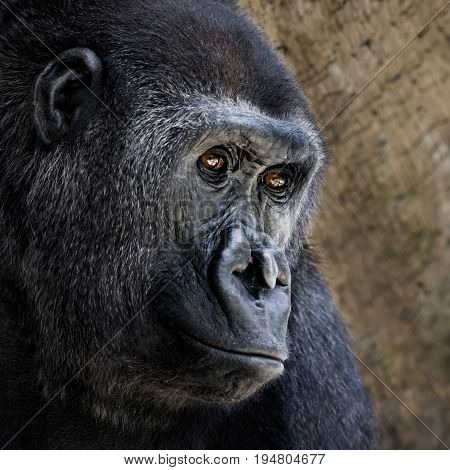 Three Quarter Portrait of a Western Lowland Gorilla Against a Tan Background
