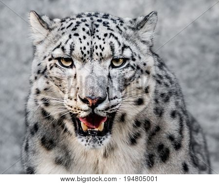 Frontal Portrait of Snow Leopard Showing Teeth