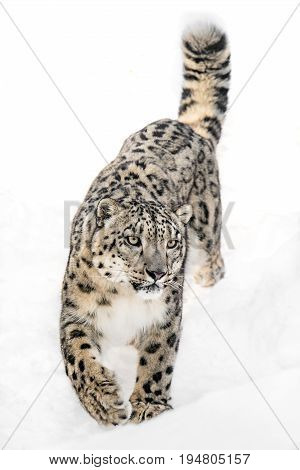 Snow Leopard Stealthily Walking in the Snow