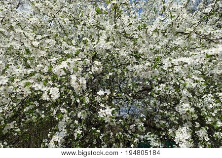 Prunus Cerasifera Covered With Lots Of White Flowers