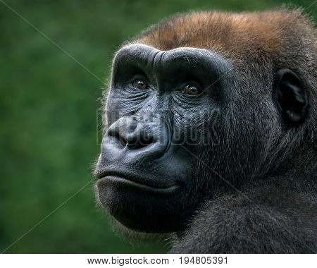 Three Quarter Portrait of a Western Lowland Gorilla Against a Green Background