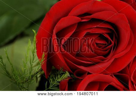 Roses in a boquet for love wedding or gift red