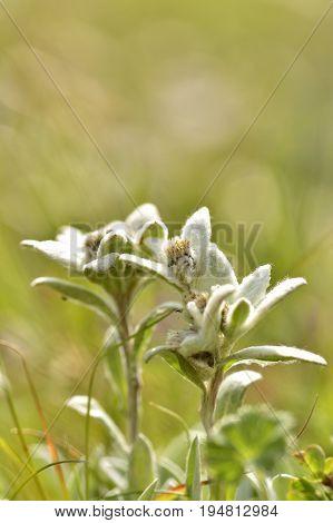 Macro of edelweiss flower (Leontopodium alpinum). Ceahlau, Romania