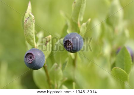 Natural wild huckleberries branch in the  forest