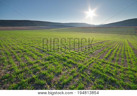 Sunrise in green meadow of young wheat. Nature composition and agricultural scene.