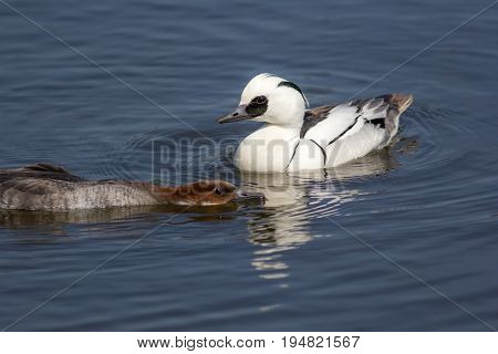 Breeding ducks display. Male and female smew (Mergellus albellus) aquatic birds mating ritual. Sumissive female with lowered head to encourage sex. Primary focus on male duck.