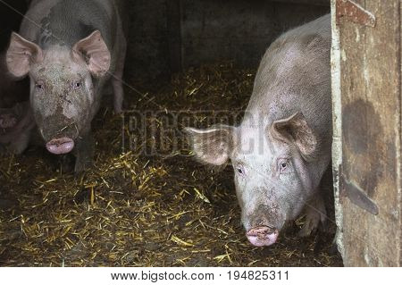 Close-Up Portrait Of Messy Pig. Portrait of two pigs in a pigsty on a straw in a traditional farm at breeding.