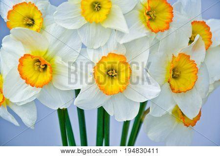 Narcissus Spring Flowers Bouquet Fresh Garden Blossom