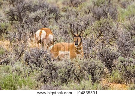 Wild Pronghorn Sheep on the plains of Wyoming