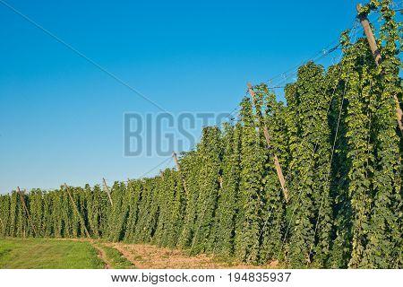 Detail of hop field befor harvestCzech Hops