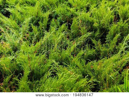 Green young juniper branches. Background juniper bush in the summer.