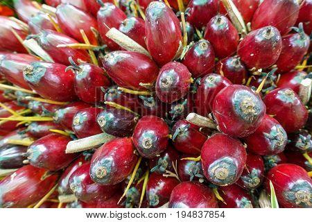 Palm oil fruits - closeup - raw material
