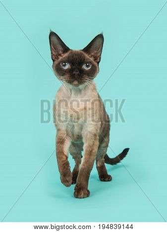 Pretty seal point devon rex cat with blue eyes walking to the camera and looking straight into the camera on a mint blue background
