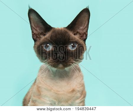 Pretty seal point devon rex cat portrait with blue eyes looking straight into the camera on a mint blue background