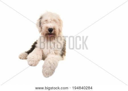 Old english sheep dog young adult lying on the floor seen from the front isolated on a white background