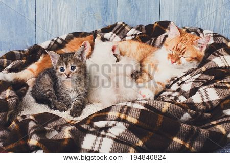 Ginger cat breastfeeding her little kittens. Motherhood, parenting, care. Nursing at plaid blanket and blue rustic wood background.