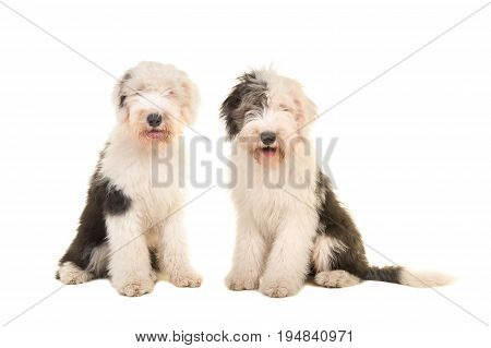 Two sitting young adult english sheep dogs looking at the camera isolated on a white background