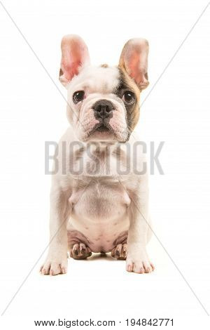 Cute almost white french bulldog puppy sitting straight up looking at the camera seen from the front isolated on a white background