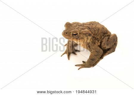 Common toad seen from above on a white background