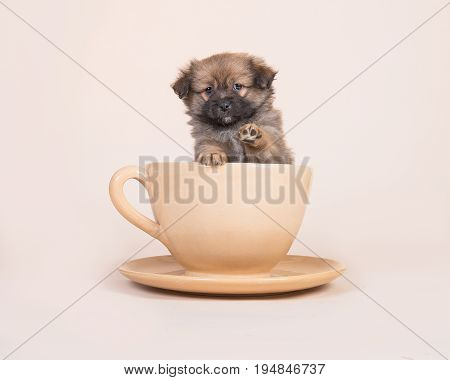 Cute mixed breed spitz puppy in a cup and saucer lifting its paw on a sand colored background