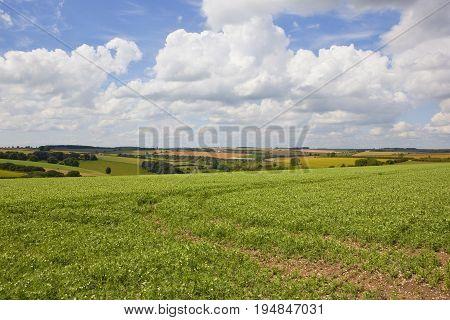 Flowering Pea Field