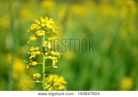 Closeup of Yellow canola flowers in Spring with blurred yellow background