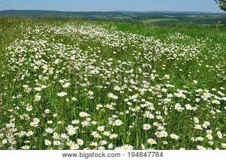 Field of wild daisies on the hills of upstate New York