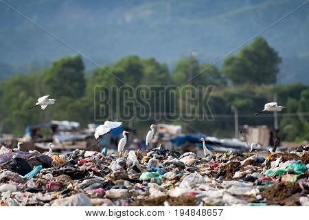 A hedge of herons at the landfill full of garbage in Kota Kinabalu Sabah Borneo Malaysia.