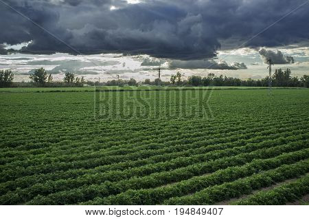 Young tomatoes plantation with stormy weather at Vegas Bajas del Guadiana Spain