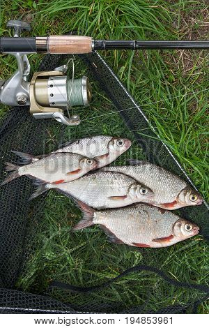 Pile Of The White Bream Or Silver Fish And White-eye Bream On The Natural Background. .