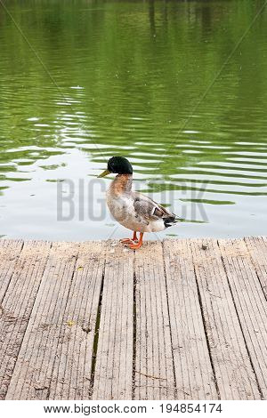Two Mallard Ducks On Old Wooden Pier At Summer Time..