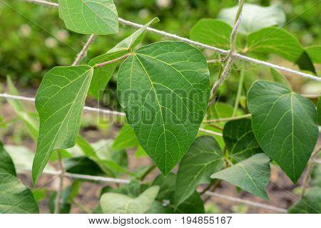 Large Green Runner Bean Vine Leaves